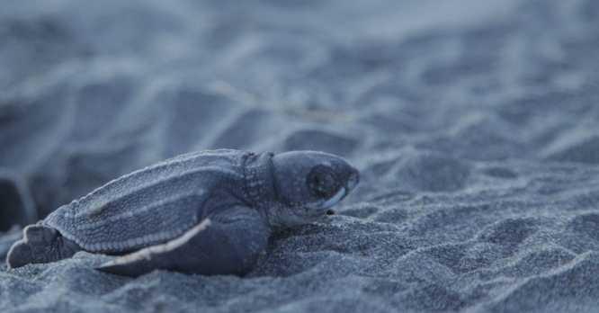Panamá, uno de los principales sitios de anidación de tortugas marinas